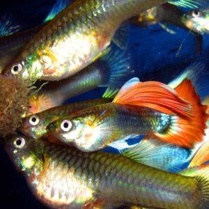 alimentacion pez guppy