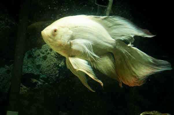 pez oscar velo