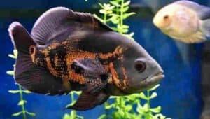 pez oscar salvaje