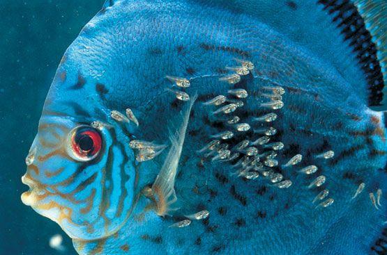 alevines pez disco