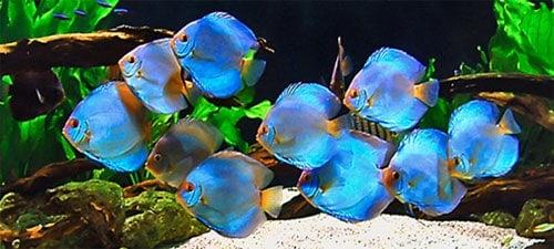 cria de peces disco
