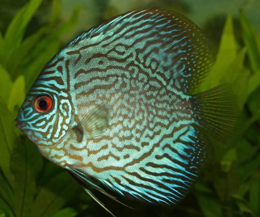 pez disco turquesa
